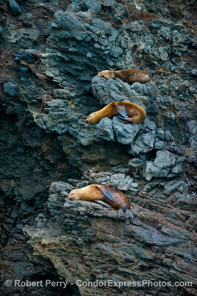 California sea lions on sea cliffs near the Painted Cave