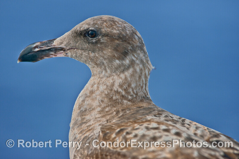 A friendly juvenile gull landed about 10 feet away from the camera on the Condor Express flybridge