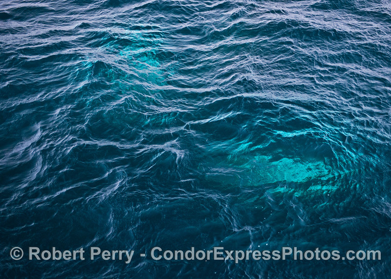 The white pectoral fins of a humpback whale are seen under the clear blue water as the whale passed directly under the boat