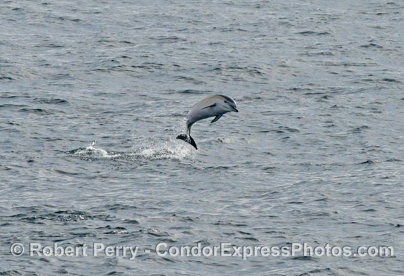 One of eleven images of some high flying short-beaked common dolphins