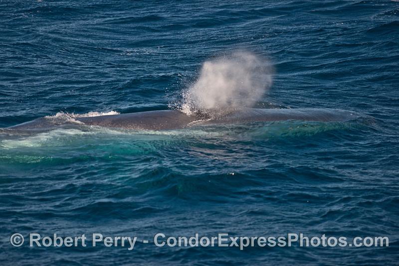 Head and spout - a blue whale