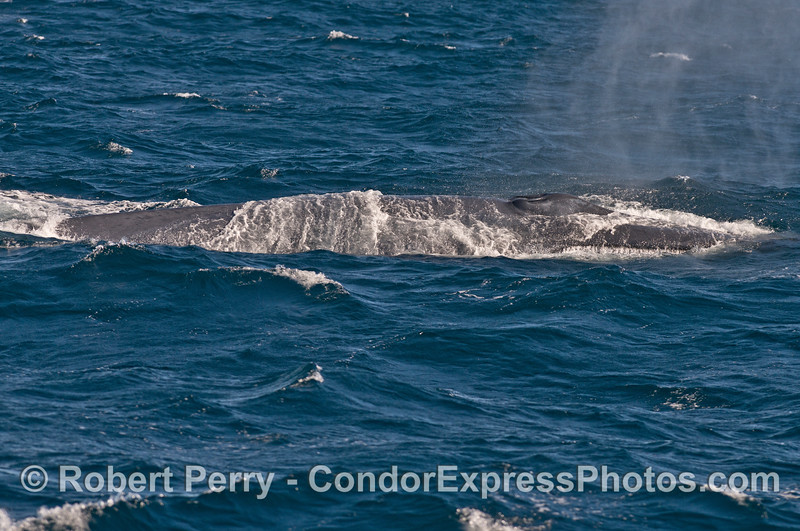 Again we see waves washing across the giant blue whale as it spouts.
