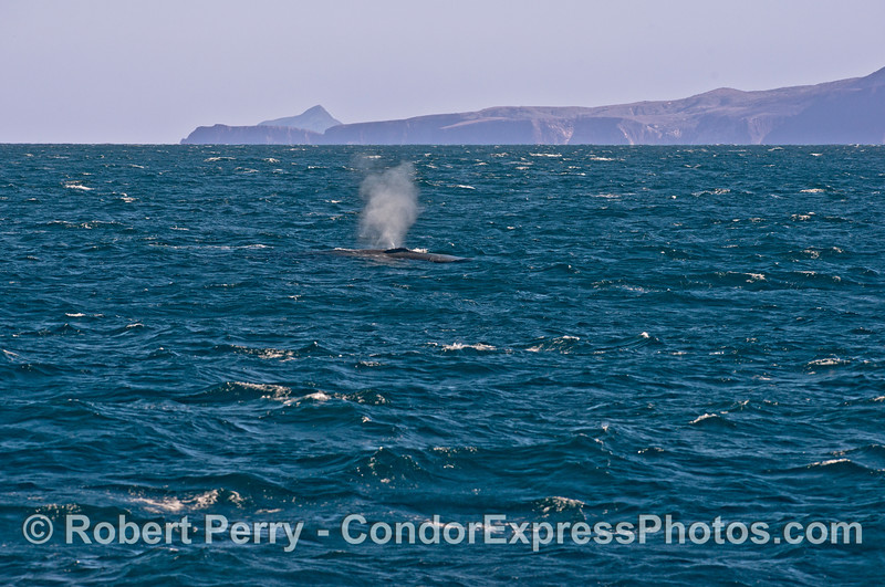 Blue whale spouting tall with the eastern end of Santa Cruz Island and Anacapa Island in the background.