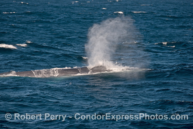Waves wash across the back of this spouting giant blue whale