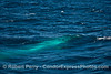 "One of nine images of a giant blue whale just beneath the surface making what I call the ""Blue Streak"""