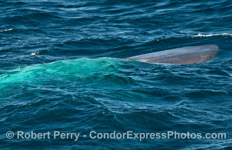 One of three photographs which show the bright blue body of the giant blue whale underwater as the head surfaces to spout