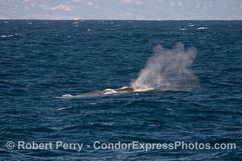 A blue whale spouting in the wind.