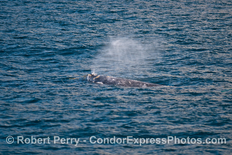 A close look at a gray whale