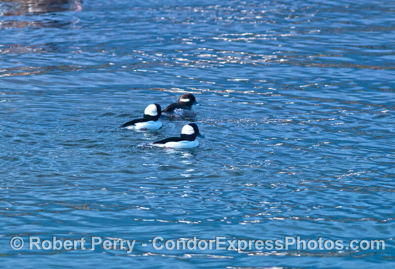Three buffleheads