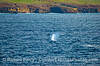 Gray whale - Santa Cruz Island