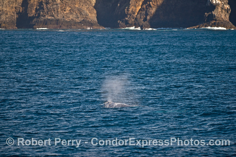 Sea cliffs of Santa Cruz Island and a spouting gray whale