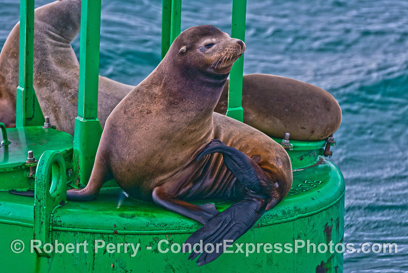 A young male California sea lion on the harbor entrance buoy - Santa Barbara Harbor