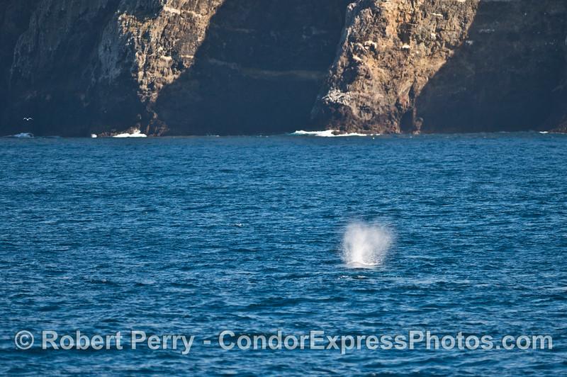 A gray whale near the sea cliffs of Santa Cruz Island