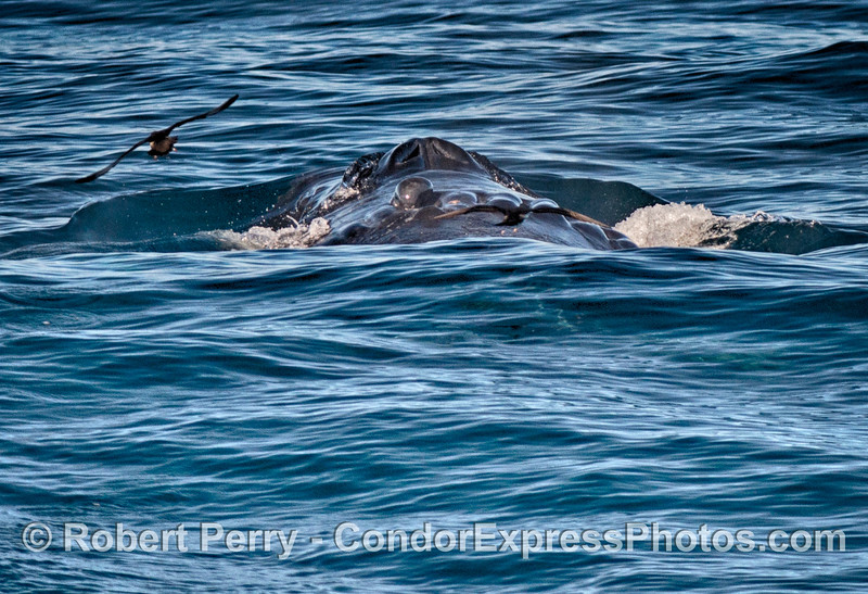Posterior view of Scarlet and her scar....with shearwaters.