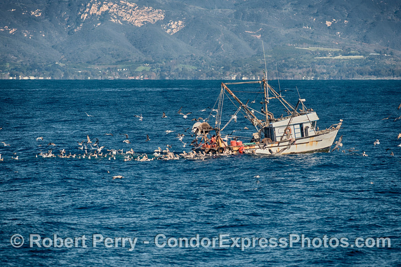 A bottom-trawler attracts hundreds of seabirds (mostly brown pelicans and gulls) as it releases its by-catch off the coast of Santa Barbara.