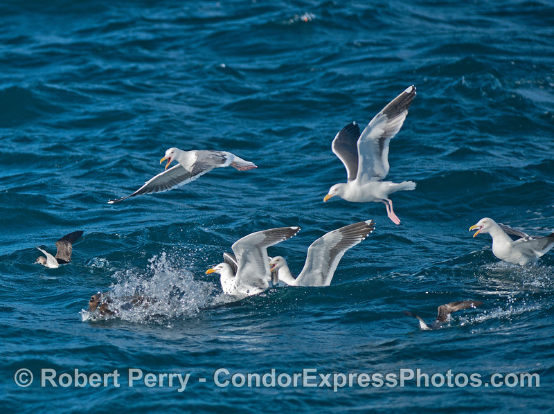 Gulls and shearwaters mob a California sea lion with a fish.