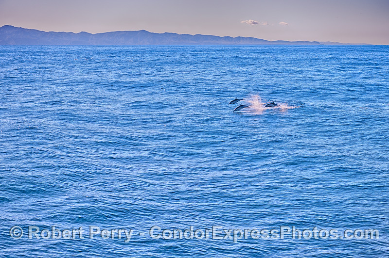 Three leaping long-beaked common dolphins with Santa Cruz Island in back.