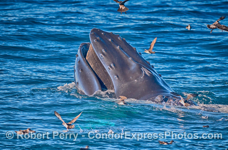 "The adult female humpback whale we call ""Scarlet"" (due to a prominent propeller scar on her back) is seen here surface lunge feeding on anchovies.  Plenty of nice baleen is showing inside the mouth."