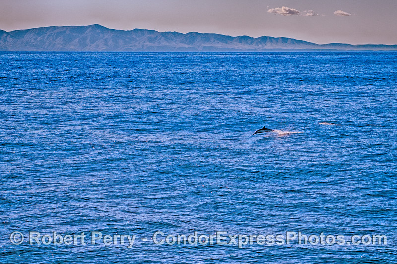 A lone leaping long-beaked common dolphin with Santa Cruz Island in back.