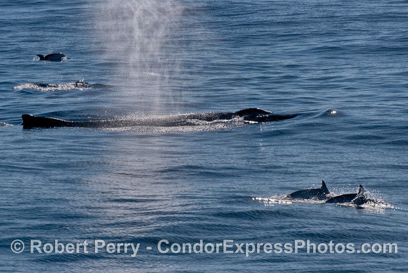 Mammals galore!  A spouting humpback whale is flanked by numerous long-beaked common dolphins feeding on the same prey.