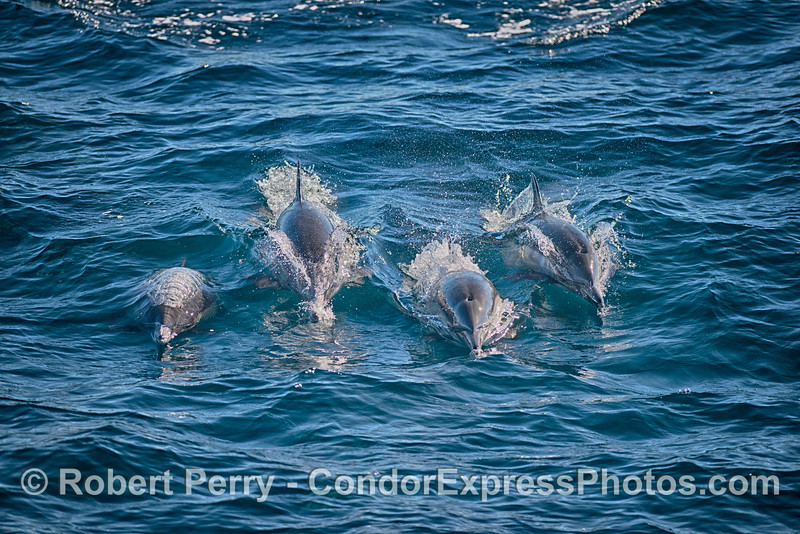 Four long-beaked common dolphins head for the Condor Express !