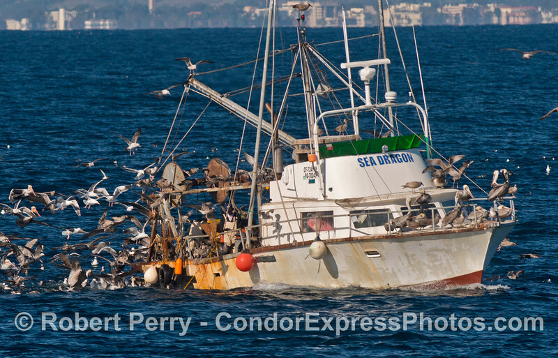 "The bottom trawler ""Sea Dragon"" (a pun on their fishing method...dragging the bottom) has attracted hundreds of seabirds as the nets come up and non-target species are thrown back in the water injured or dead"