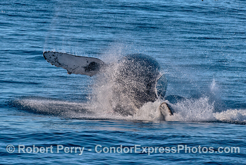 A humpback whale prepares to hit the water as it breaches.
