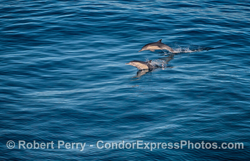 Leaping long-beaked common dolphins on a blue ocean
