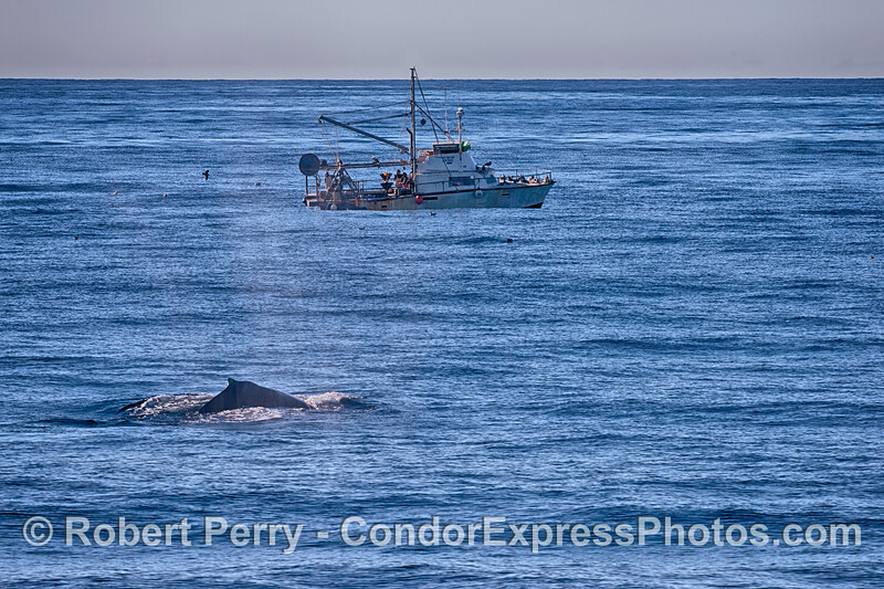 A bottom trawler is seen working close to our humpback whale feeding grounds.
