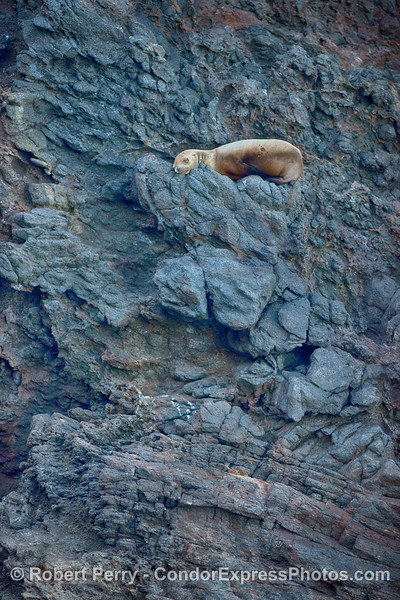 A small California sea lion demonstrates its agility at climbing sea cliffs inside the Painted Cave on Santa Cruz Island.
