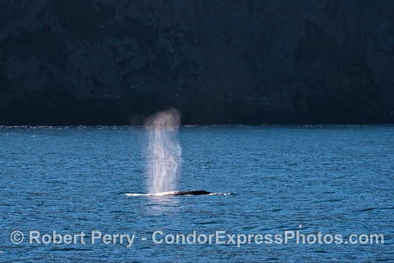 A southbound gray whale sends up a tall spout highlighted by the dark sea cliffs of Santa Cruz Island.