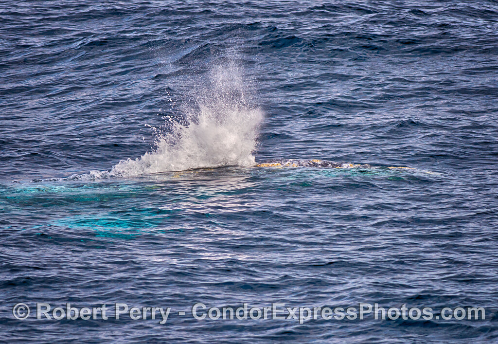 A gray whale