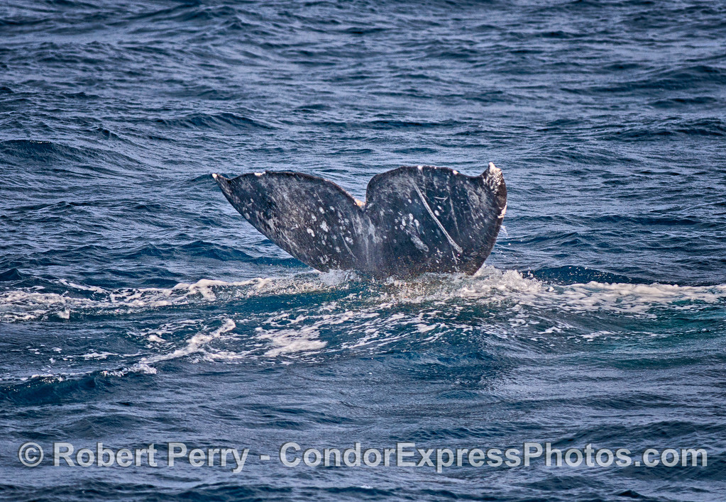 A gray whale