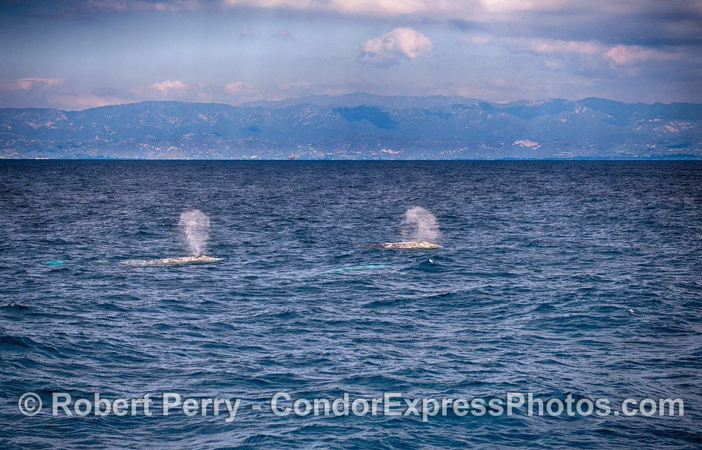 Two gray whale spouts in the Santa Barbara Channel.   The Santa Ynez mountains and Santa Barbara are seen in the back
