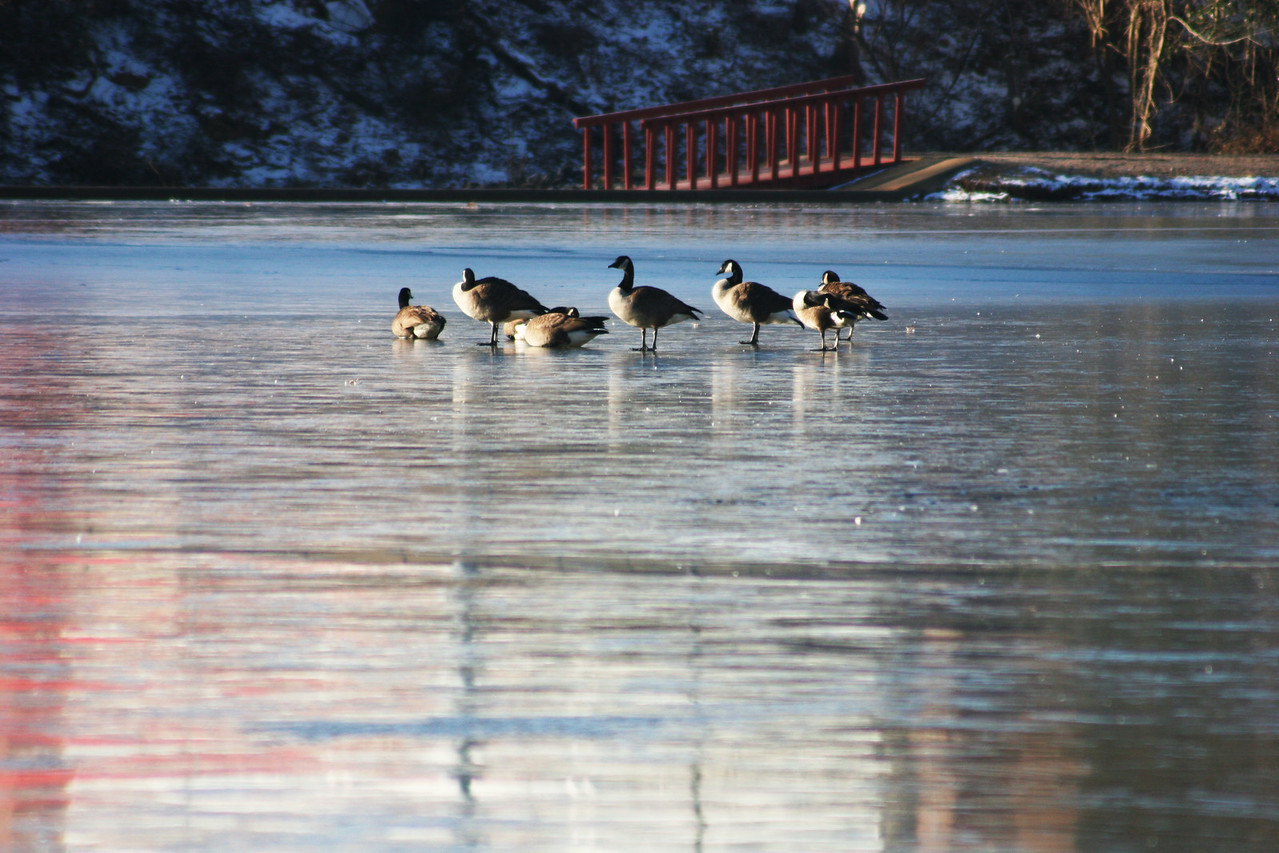 Geese lay on top of the frozen Lake Hollifield on the campus of Gardner-Webb University.