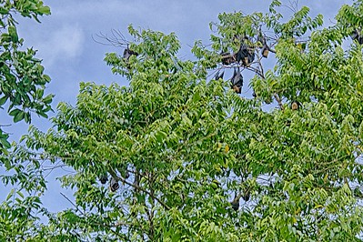 Flying Foxes (Fruit Bat)