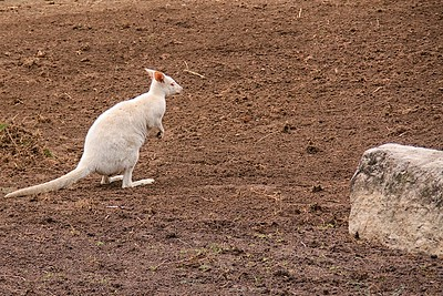 Featherdale Wildlife Park Albino Tammar Wallaby