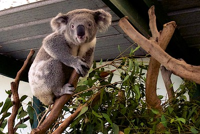 Featherdale Wildlife Park Koala