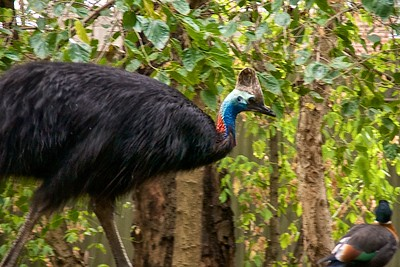Featherdale Wildlife Park Cassowary