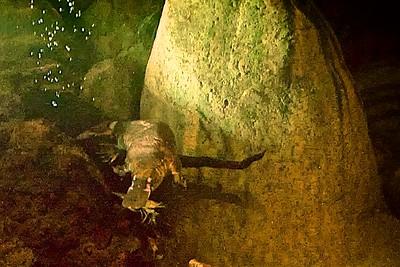 Lone Pine Koala Sanctuary  Platapus