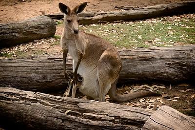 Lone Pine Koala Sanctuary  Red Kangaroo