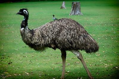 Lone Pine Koala Sanctuary  Emu
