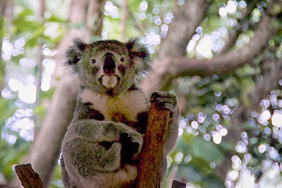 Lone Pine Koala Sanctuary  Koala