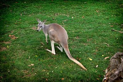 Lone Pine Koala Sanctuary  Grey Kangaroo