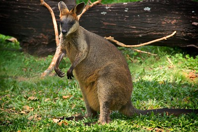 Lone Pine Koala Sanctuary  Red Kangaroo