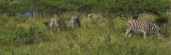 Tala Game Reserve Zebras