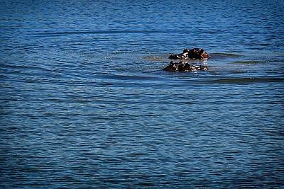 Tala Game Reserve Hippo