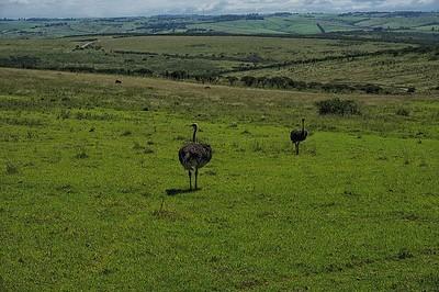 Tala Game Reserve  Ostrich