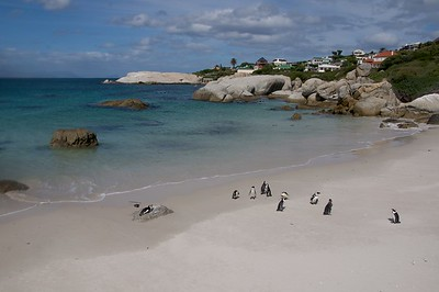Boulders Beach  African Penguins