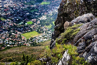 Table Mountain Rock Hyrax (Dassie)